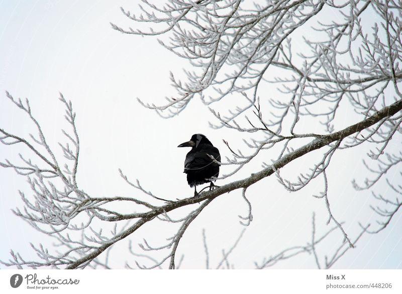 Winterkrähe Baum Tier schwarz Winter Schnee Tod Stimmung Vogel Eis Wildtier trist Frost Trauer schlechtes Wetter Raureif Krähe