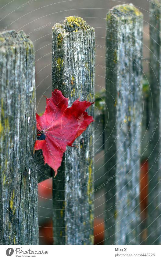der Herbst ist da Blatt Garten rot Herbstfärbung Farbe Holzbrett Zaun Holzzaun Zaunpfahl Ahornblatt Herbstlaub herbstlich Herbstbeginn Farbfoto mehrfarbig