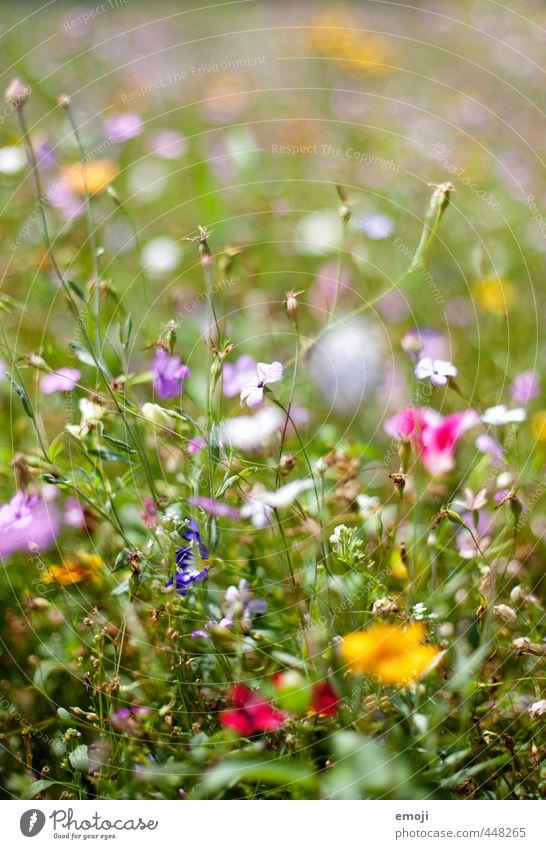Wiese Umwelt Natur Pflanze Sommer Blume Gras Garten Park natürlich grün Farbfoto mehrfarbig Außenaufnahme Nahaufnahme Makroaufnahme Menschenleer Tag