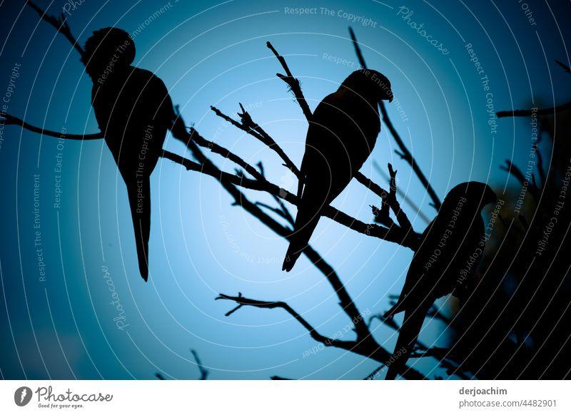 Alle Vögel sind schon da. Treffen von mehreren wilden  Papageien auf einem Baum am Abend. Vögel sitzend Natur Außenaufnahme Tier Tag Farbfoto Vogel Umwelt