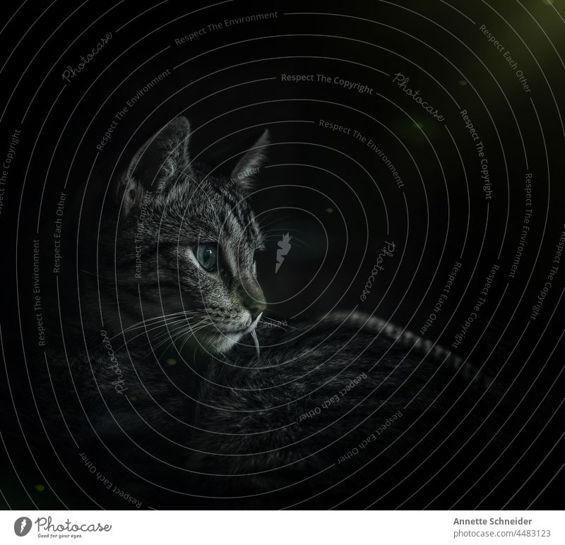 Katzenportrait Licht und Schatten Haustiere Textfreiraum niedlich Studioaufnahme schön bezaubernd Ohrbüschel