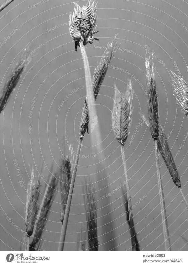 Getreide Feld Grauzone Getreidefeld
