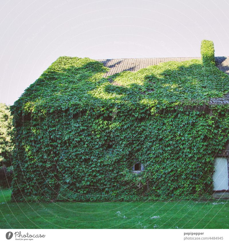 Grünfläche – mit Efeu begrüntes alte Haus Grüntöne Efeublätter Efeublatt efeuranke wachsen wachsend bewachsen Natur Pflanze Wand Mauer Farbfoto Wachstum Ranke