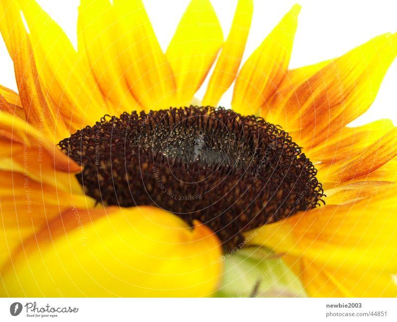 SuNfLoWeR 2 Blume gelb Sonnenblume