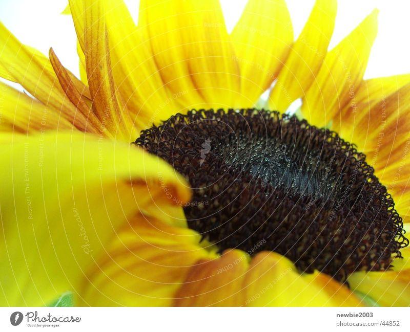 SuNFlOwEr Blume gelb Sonnenblume