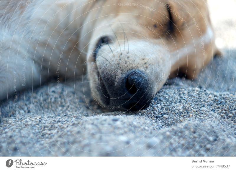 Griechischer Strandköter Tier Hund Tiergesicht Hundenase Erholung schlafen liegen braun Kieselstrand Kieselsteine grau weiß herrenlos ausruhend Sonne Sommer
