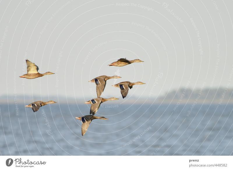 Am Bodden Natur blau Sommer Tier Umwelt braun Vogel Wildtier Fliege Schönes Wetter Tiergruppe Ente fliegend Schwarm Darß Vorpommersche Boddenlandschaft