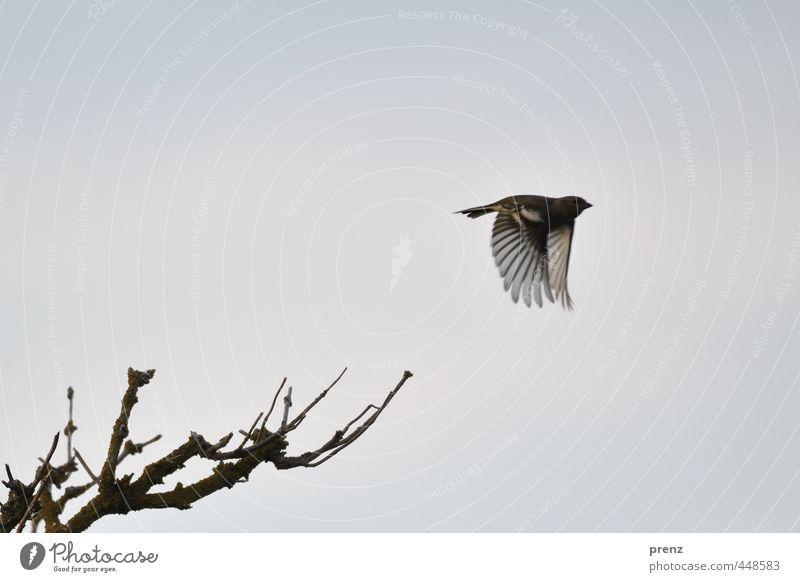 Flieger Umwelt Natur Tier Schönes Wetter Wildtier Vogel 1 blau grau fliegend Zweig Fink Farbfoto Außenaufnahme Menschenleer Textfreiraum oben Abend