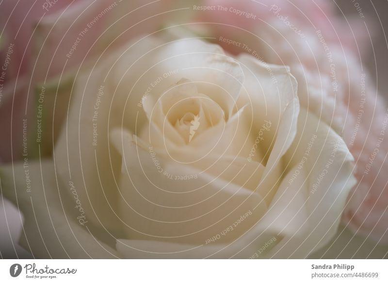 weisse Rose vor unscharfem Hintergrund. Makroaufnahme rose unscharfer Hintergrund Bokeh Nahaufnahme Detailaufnahme Pflanze Farbfoto Schwache Tiefenschärfe