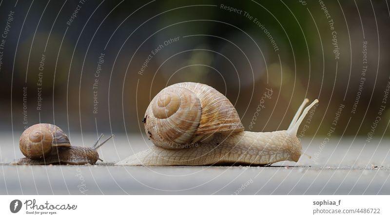 Kinderschnecke folgt Mutterschnecke, kleine und große Schnecke unterwegs Riesenglanzschnecke folgen langsam krabbeln Geschwindigkeit Baby Weg wenig zwei