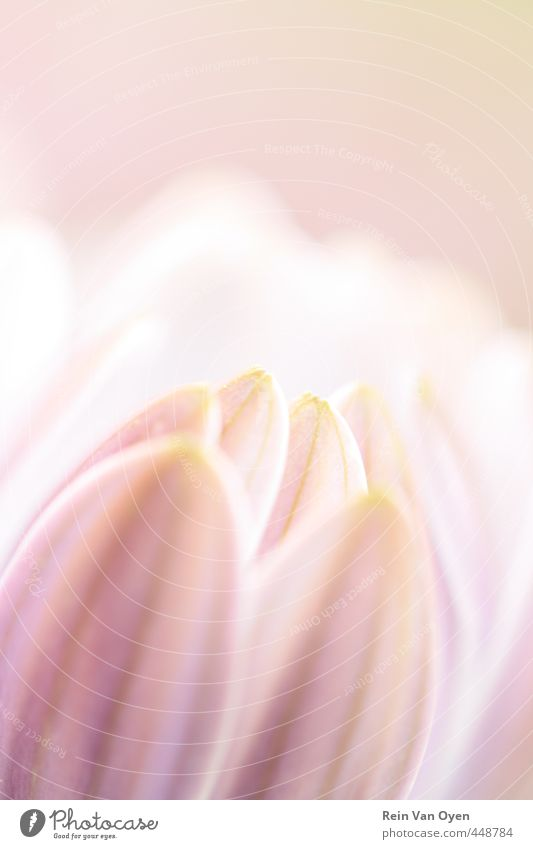 Rosa Blume Blumen rosa Blüte Natur Pflanze Frühling Sommer Unschärfe Frühlingsgefühl aufblühen Blühend Tageslicht natürliches Licht Blütenblätter Frühlingstag