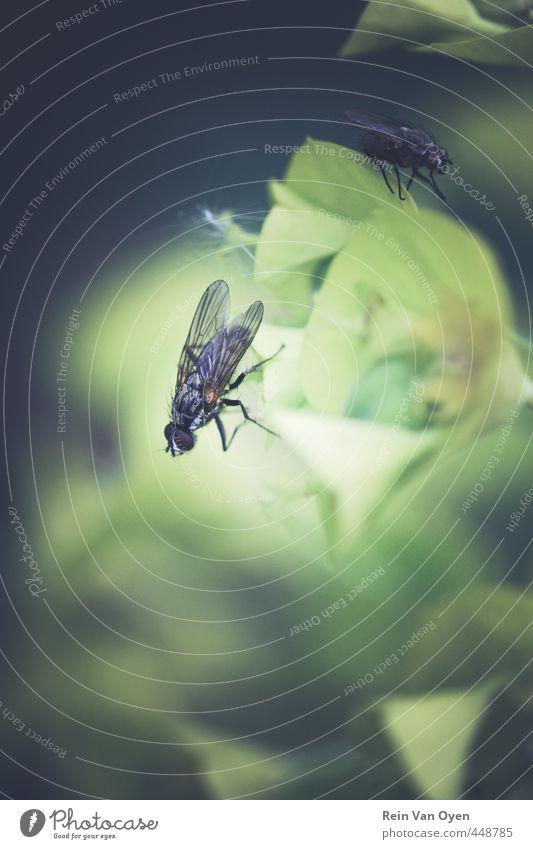 Fliegen fliegen Natur Insekten Schwebfliege Farbfoto schwarz Nahaufnahme Flügel Tier Makroaufnahme Beine Tierporträt Detailaufnahme