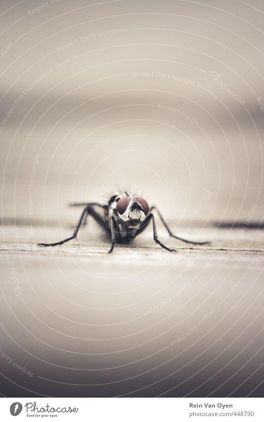 Fliegen 1 Tier schön Insekt Makroaufnahme Holz frontal Farbfoto Außenaufnahme Menschenleer Textfreiraum Mitte Hintergrund neutral Schwache Tiefenschärfe