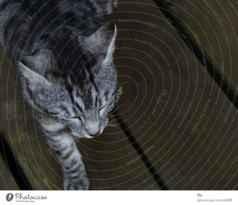 Schlafend Katze schlafen Tier grau Tieger