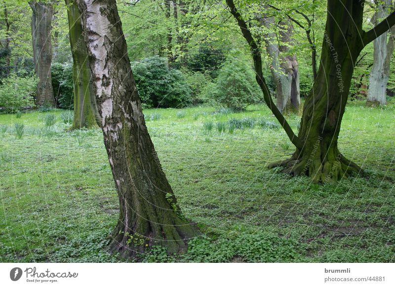 Zauberwald grün Wald springen Frühling Park Regen Baumstamm Friedhof Birke Buche Unterholz Dortmund Botanischer Garten