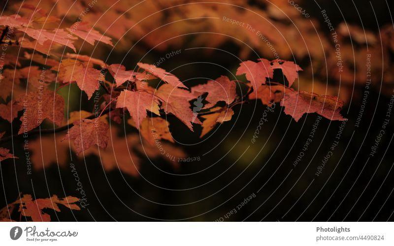 Ahornblätter in herbstlicher Färbung und unscharfem Hintergrund Ahornblatt Herbst rot Blatt Blätter Farbfoto Farbfotos Herbstlaub Menschenleer Natur