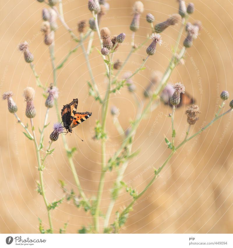 nesselfalter Sommer Pflanze Tier Umwelt orange Speise Feld Schönes Wetter Flügel Insekt Schmetterling Blütenknospen Stauden Wildpflanze Distel Kleiner Fuchs