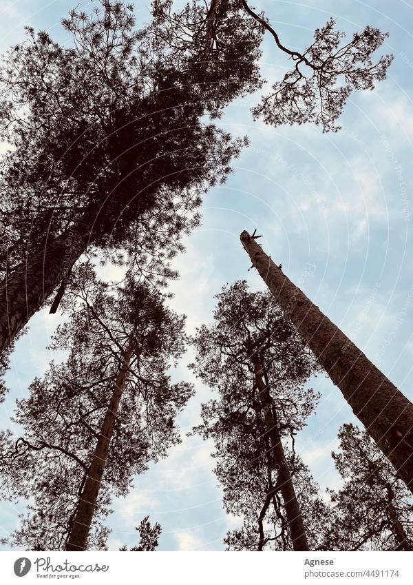 Himmelstrog-Bäume Baum himmelblau Wald Holz kaputte Bäume Kiefer Kiefern