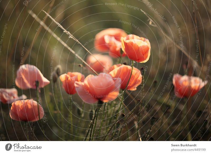 zum an die Wand klatschen Umwelt Natur Pflanze Luft Sommer Herbst Schönes Wetter Blume Gras Sträucher Blatt Blüte Wildpflanze Mohn Garten Park Wiese Feld