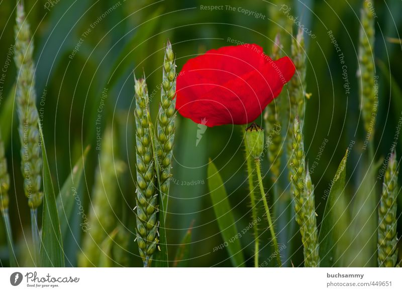 Mohnblume im Kornfeld Sommer Pflanze Tier Blume Feld grün rot Einsamkeit Juni Weizen Farbfoto Außenaufnahme Menschenleer Textfreiraum links Textfreiraum unten