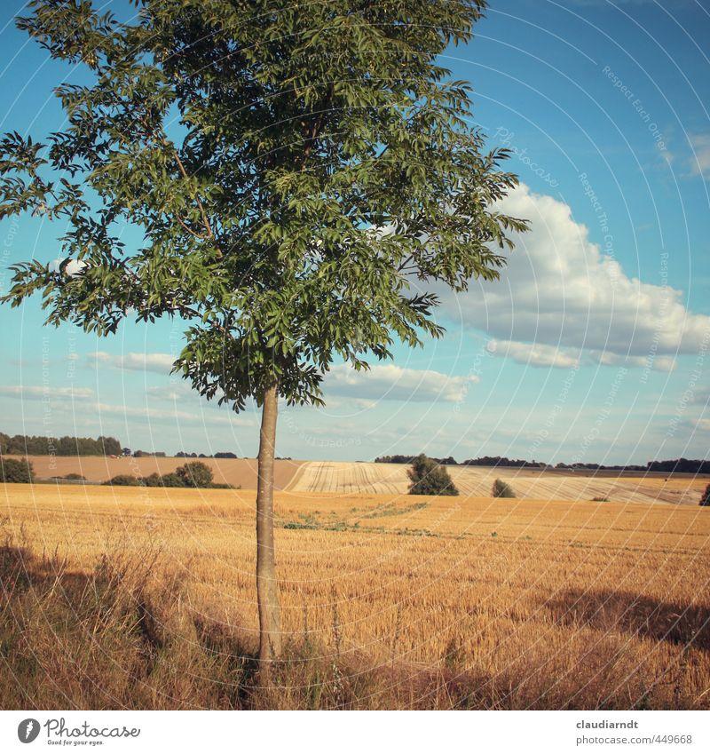 Altmark Umwelt Natur Landschaft Pflanze Himmel Wolken Horizont Sommer Schönes Wetter Baum Nutzpflanze Esche Feld Deutschland schön Wärme blau gold Heimweh