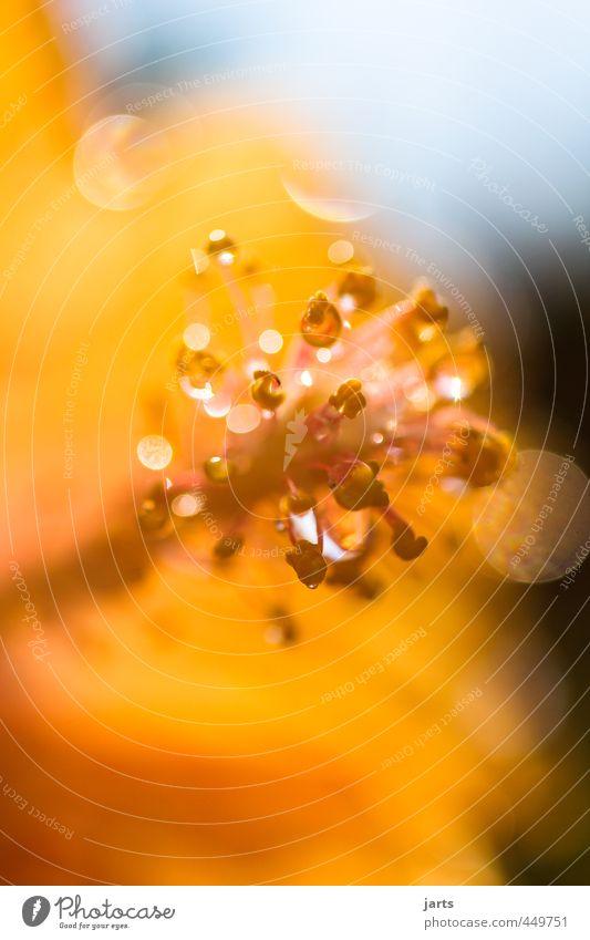 spätsommer Pflanze Wassertropfen Sommer Schönes Wetter Blume Blüte elegant fantastisch glänzend hell natürlich orange Natur schön leuchten Farbfoto