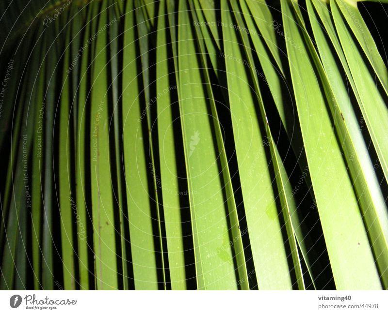 Palmwedel Palmenwedel grün Pflanze Hintergrundbild Licht parallel Symmetrie Blatt Ferien & Urlaub & Reisen Stil Nahaufnahme Schatten Garten Insel stylish