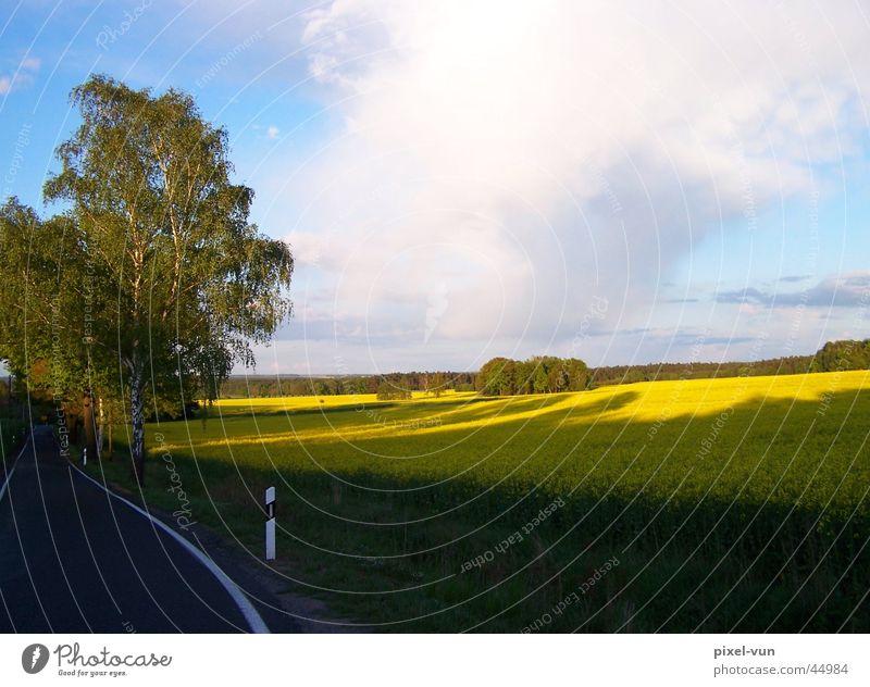 Rapsfeld in der Abendsonne Himmel weiß blau Pflanze Wolken gelb Straße Farbe Wald Feld Landwirtschaft Ackerbau Öl Futter Birke