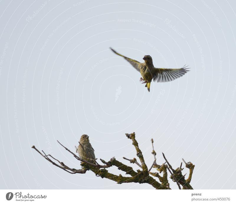 Grünfink Umwelt Natur Tier Wildtier Vogel 2 blau grün fliegend Darß Zweig Farbfoto Außenaufnahme Menschenleer Textfreiraum links Textfreiraum oben