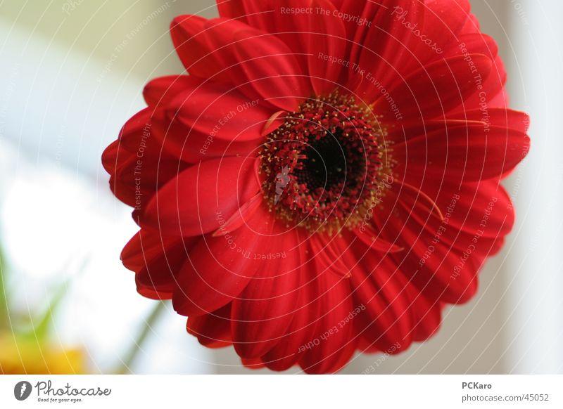 gute-Laune-Gerbera Licht rot Blume Pflanze beige gelb Fröhlichkeit Sonne Leben Kraft