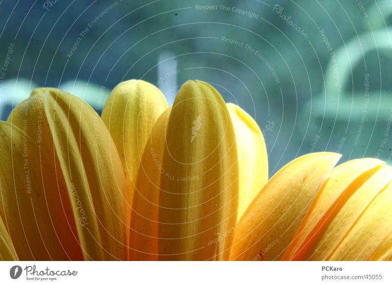gelbe Gerbera V Natur grün Sonne Blume Farbe Fenster orange Romantik Reihe poetisch