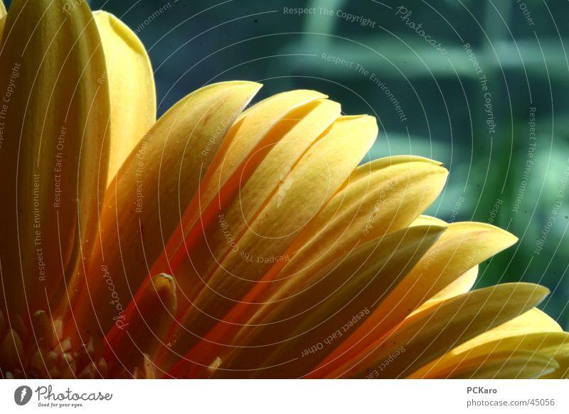 gelbe Gerbera IV Natur grün Sonne Blume Farbe Fenster orange Romantik Reihe poetisch