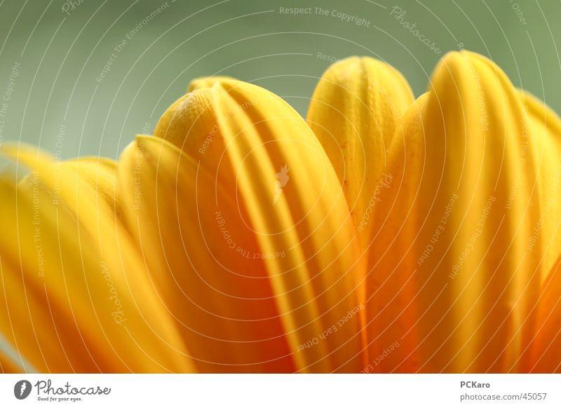 gelbe Gerbera III Natur grün Sonne Blume Farbe Fenster orange Romantik Reihe poetisch