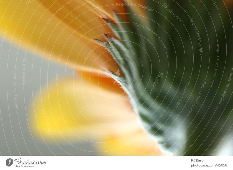 gelbe Gerbera II Natur grün Sonne Blume Farbe Fenster orange Romantik Reihe poetisch