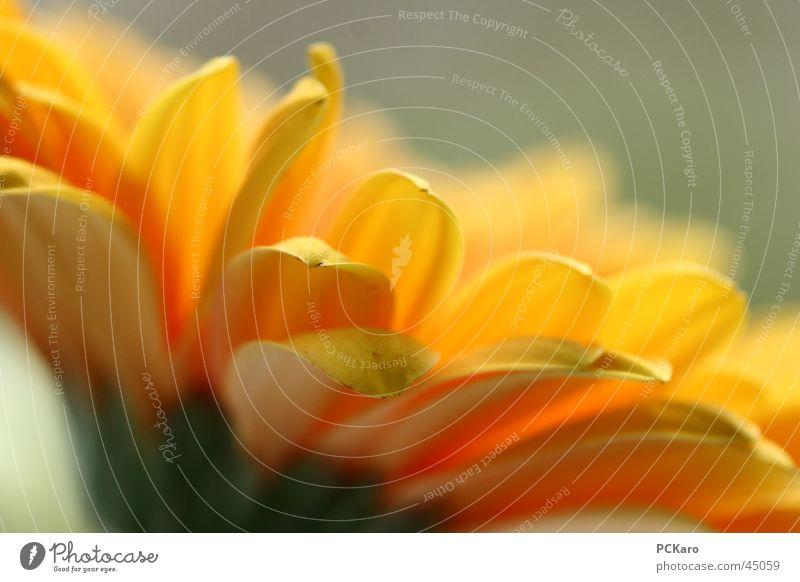 blümchen I Natur grün Sonne Blume Farbe gelb Fenster orange Romantik Reihe Gerbera poetisch