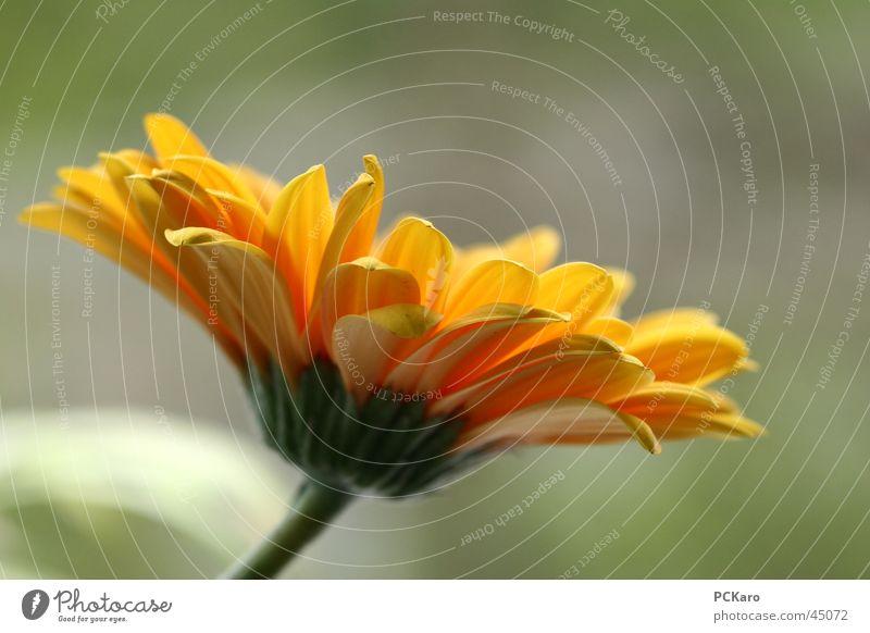 komm her Blumi.. Blume Gerbera gelb Profil Silhouette Pflanze Makroaufnahme