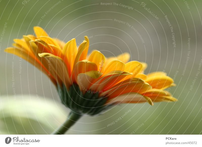komm her Blumi.. Blume Pflanze gelb Gerbera