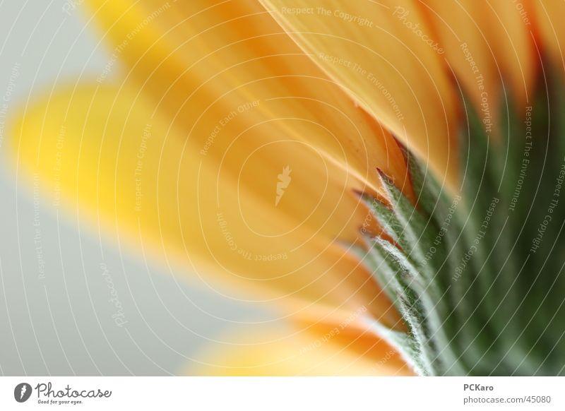 zart.. Blume Blumenstengel grün gelb Gerbera Blüte weich Romantik Makroaufnahme