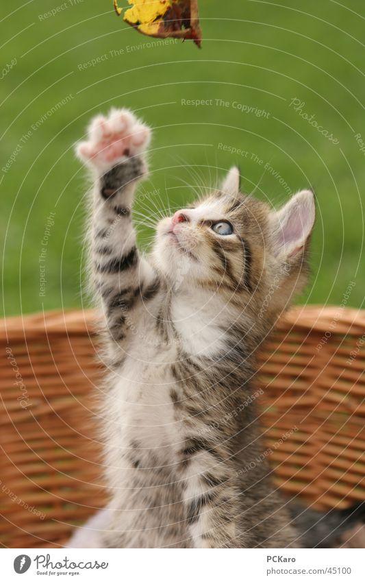 verspieltes Katzenbaby Spielen Korb süß Pfote Hauskatze männchen machen cat