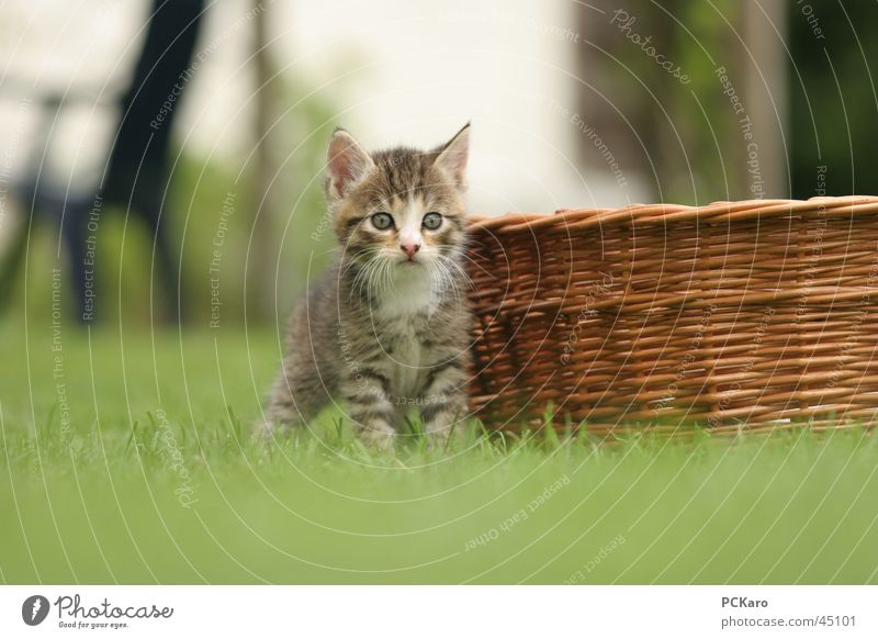 ..wie gebannt.. Spielen Katze warten Korb süß Hauskatze beobachten beobachtet getigert cat