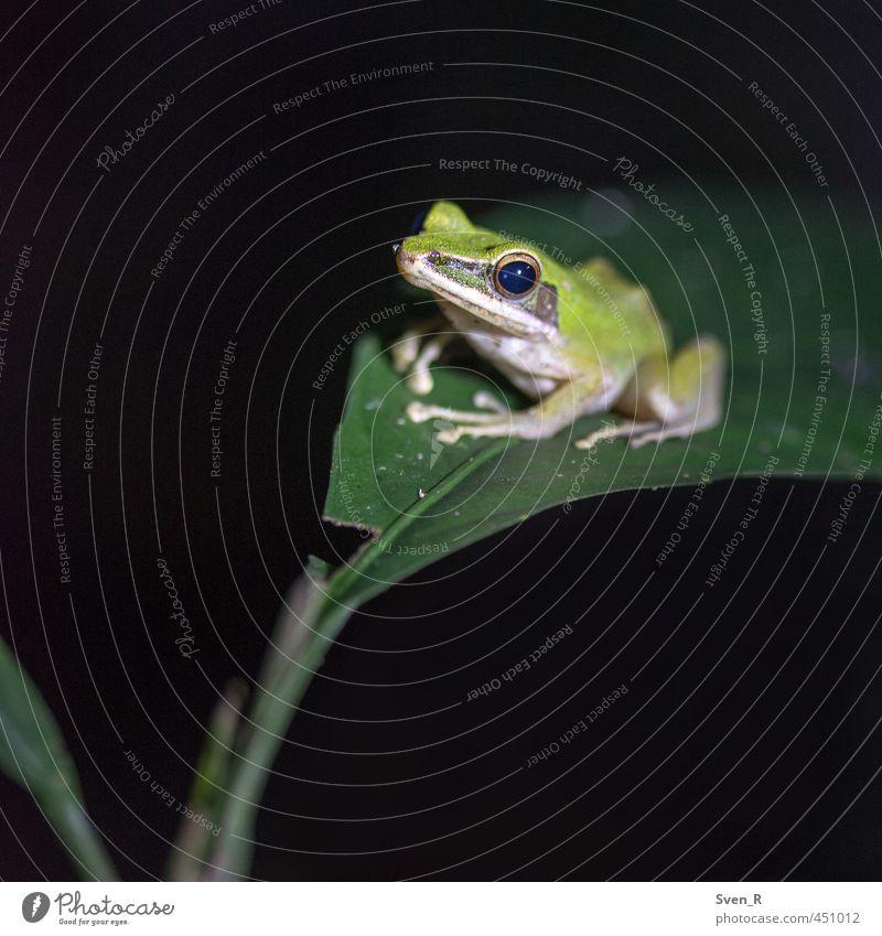 Der Froschkönig Natur grün Tier sitzen Wildtier niedlich beobachten Frosch friedlich