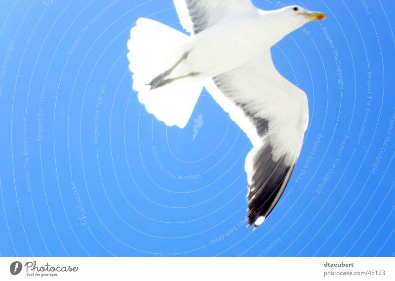 freiheit Natur Himmel weiß blau Sommer schwarz Tier Freiheit Vogel fliegen Verkehr Frieden Unendlichkeit Möwe