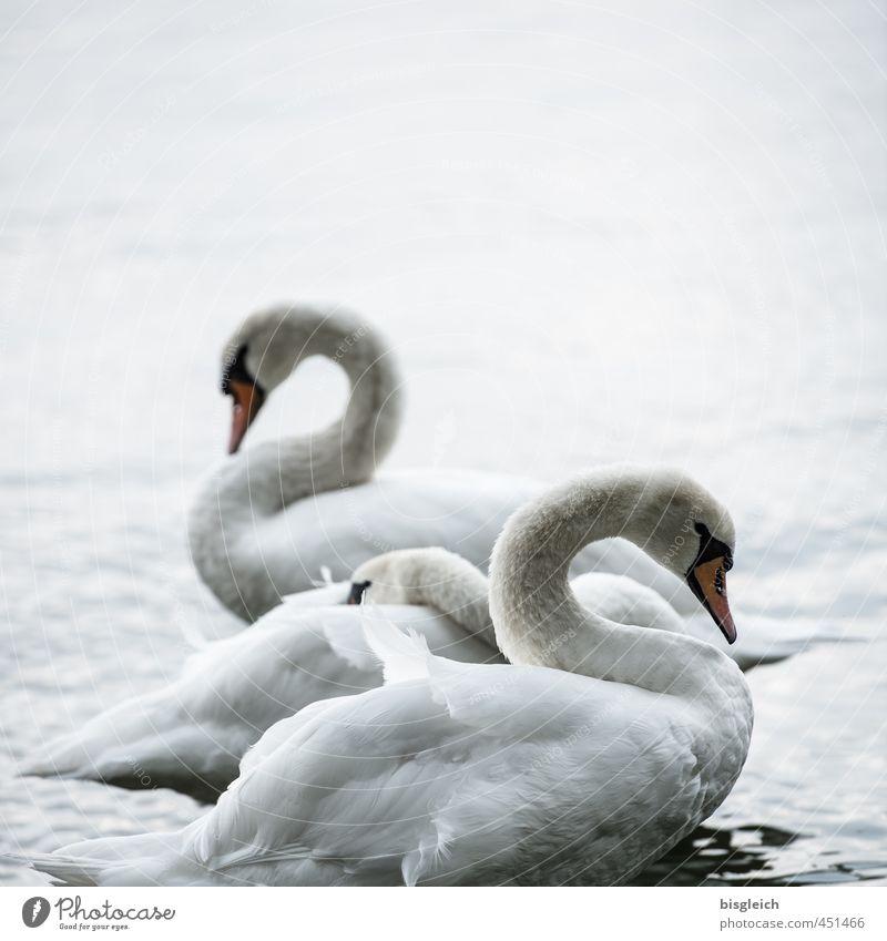 Schwanensee I Natur Seeufer Vogel 3 Tier stehen schön grau weiß Farbfoto Gedeckte Farben Außenaufnahme Menschenleer Textfreiraum oben Abend Dämmerung