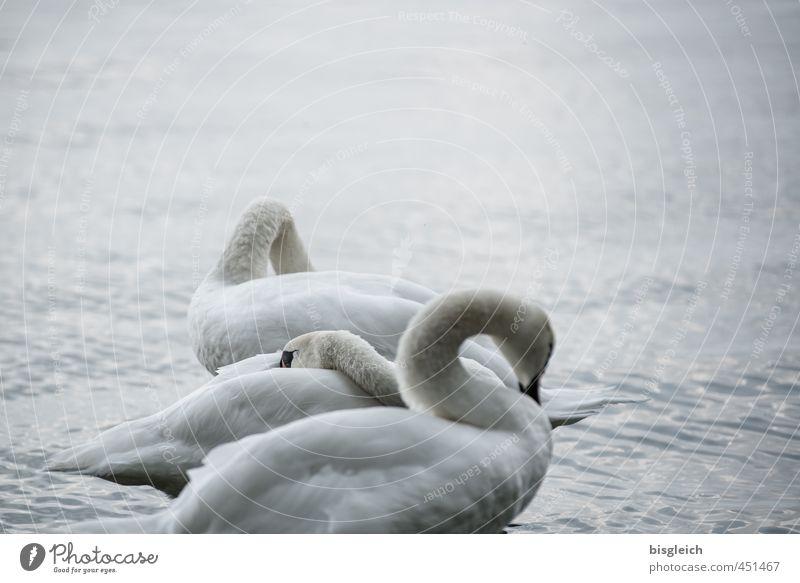 Schwanensee III schön weiß ruhig Tier grau See Vogel stehen Seeufer