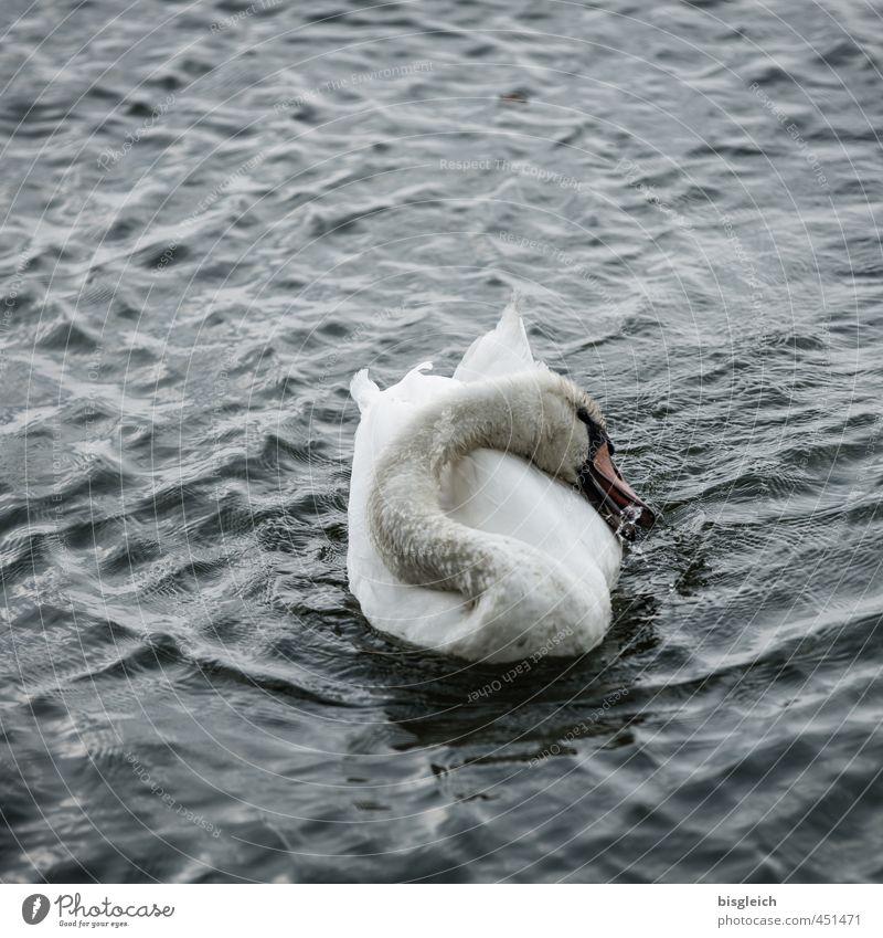 Schwanensee IV See Vogel 1 Tier Schwimmen & Baden grau weiß Farbfoto Gedeckte Farben Außenaufnahme Menschenleer Textfreiraum oben Abend Dämmerung