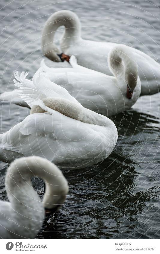 Schwanensee V See Vogel 4 Tier stehen grau weiß ruhig Farbfoto Gedeckte Farben Außenaufnahme Menschenleer Abend Dämmerung