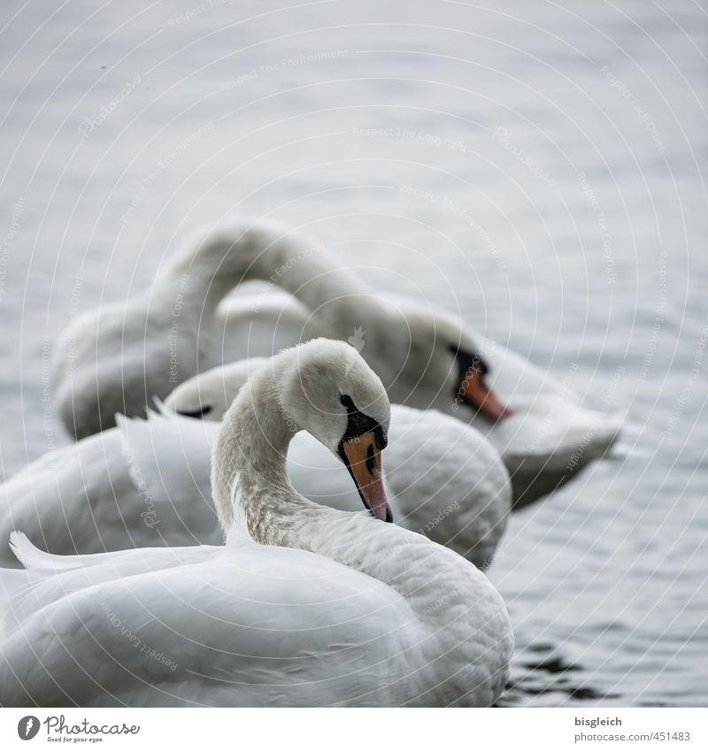 Schwanensee II Natur Seeufer Vogel 3 Tier stehen schön grau weiß ruhig Farbfoto Gedeckte Farben Außenaufnahme Menschenleer Textfreiraum oben Abend Dämmerung