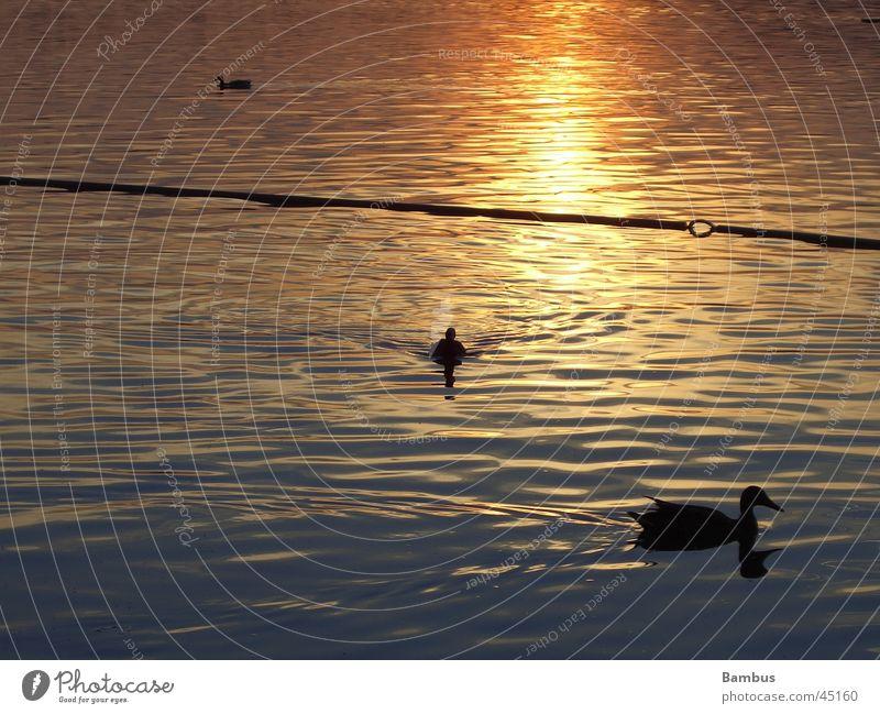 Enten See Sonnenuntergang Abenddämmerung Reflexion & Spiegelung Wasser Detailaufnahme