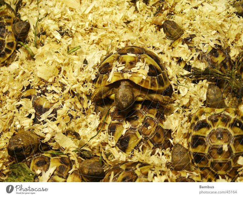 Schildkröten gelb braun Haufen Sägemehl