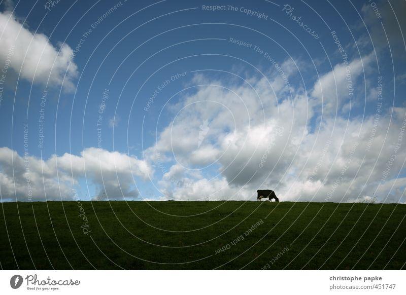Kuh auf Feld Landwirtschaft Forstwirtschaft Himmel Wolken Wiese Tier Nutztier 1 Fressen stehen Milchkuh Rind Rindfleisch Rinderhaltung Weide ländlich Farbfoto